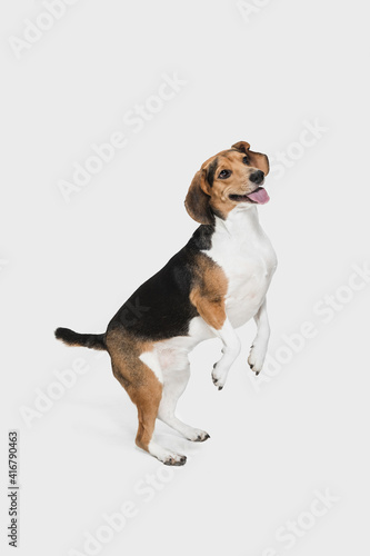Small funny dog posing isolated over white background Fototapet