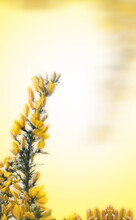 Yellow Flowers Of Gorse Cover A Thorny Green Branch In Spring Against A Buttery Yellow Background With Copy Space.  Vertical Arrangement