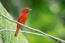 Red Tanager Perched On Small Branches Carefully Surrounding The Environment