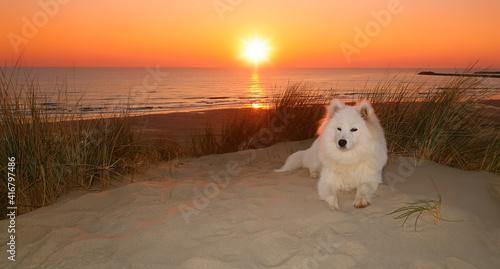 Fototapeta Samoyed dog sitting on the beach at sunset obraz