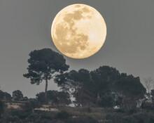 Pleine Lune Se Levant Au Dessus De Pins Parasols - Full Moon Rising Over Umbrella Pines