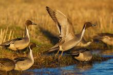Northern Pintail Ducks