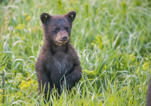 Fotografia Black bear cub in spring.