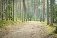 Rural Road Through The Evergreen Forest. Pine, Fir, Spruce Trees, Tree Logs, Green Plants, Moss. Mist, Soft Sunlight. Spring Landscape. Europe. Nature, Ecology, Environment, Ecotourism, Nordic Walking