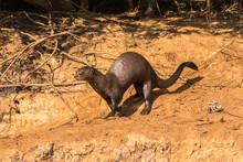 Brazil, Pantanal. Giant River Otter Running On Beach.