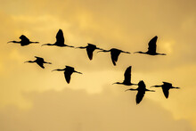 Silhouette Of Group Of Glossy Ibis (plegadis Falcinellus) At The Ricefields At Sunset In Albufera De Valencia.