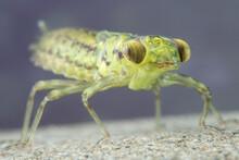 Underwater Dragonfly Larvae