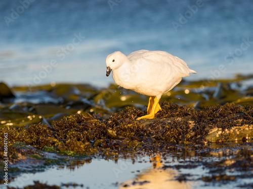 Stampa su Tela Kelp Goose, gander in tidal area, Falkland Islands.