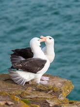 Black-browed Albatross Or Black-browed Mollymawk, Typical Courtship And Greeting Behavior, Falkland Islands.