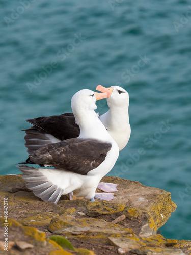 Fotografia, Obraz Black-browed albatross or black-browed mollymawk, typical courtship and greeting behavior, Falkland Islands