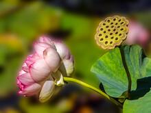 Lotus And Seed Pod
