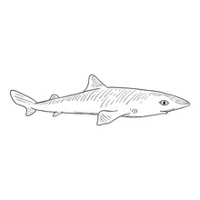 Vector Sketch Spiny Dogfish. Squalus Acanthias.