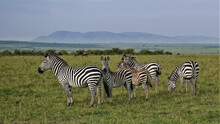 A Family Of Beautiful Striped Zebras Stands On The Green Grass Of The Savannah. Wildebeests Graze In The Distance. Against The Background Of The Sky, The Outlines Of The Mountains. Kenya. Masai Mara