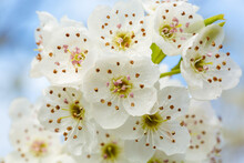 White Bradford Pear Tree Blossoms