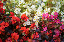 Close Up Of Lush Blooming Of A Lot Of Begonias With With Red, Pink And White Flowers. Blooming Begonia As Background.
