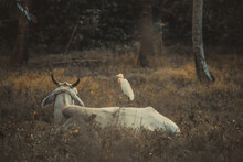 A Cow And A Stork Resting