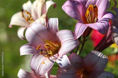 Fotografering Lilies stargazer close-up