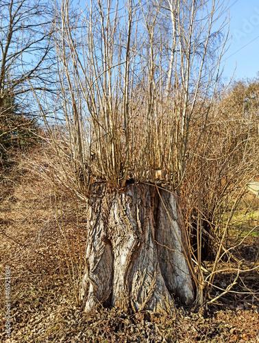 Fototapeta Bajkowe drzewo. obraz