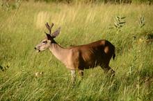 Profile Of Male Deer In Long Grass