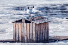Pair Of Seagulls Sitting On The Bird House Roof Among The Melting Ice.