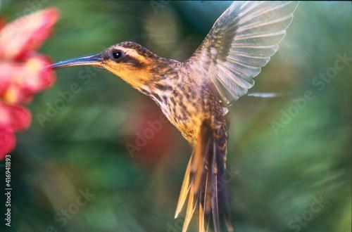 Fototapeta premium kolibri planalto hermit feeding on a flower