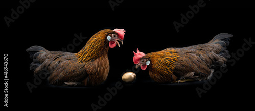 Obraz na płótnie two chickens are sitting near a golden egg and talking on a black background, fa