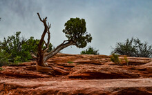Coniferous Tree On A Background Of Red Eroded Rocks In Canyonlands National Park In Utah Near Moab, US