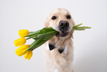 A Cute Dog With Yellow Tulips In His Mouth And A Butterfly On His Neck Sits On A White Background. Golden Retriever Gives Spring Flowers. Summer Postcard With Animals.