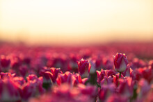 Pink Tulips Field With The Sunlight. Famous Beautiful Flower Bloom In Spring Day.
