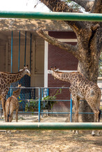 Three Hungry Giraffe Look At The Basket Of Stored Grasses Inside Of A Zoo