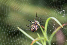 Black And Yellow Garden Spider Builds Web With Silk From Spinneret