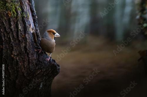 Fotografia, Obraz Hawfinch on tree.