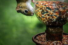 A Curious Squirrel Looks At This Glass Glove Feeder As It Makes Its Way To The Seed Tray Below.  Bird Feeder With A Squirrel On It In Our Yard In Windsor In Broome County In Upstate NY.