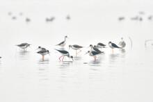 Stilt Birds Are Feeding In The Lake