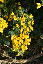 Yellow Gorse Flowers On Sunny Day