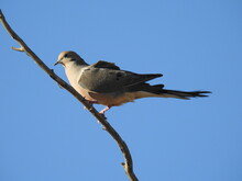 A Morning Dove Perched On A Branch In The Southern Sierra Nevada Mountains, Kernville, Kern County, California.