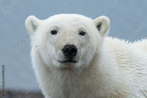 Canvastavla Polar Bear face