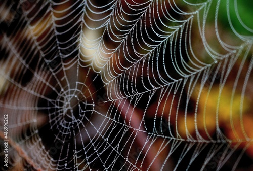 Tela spider web with dew drops