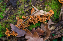 Bracket Fungi On A Tree Trunk With Green Moss In Autumn