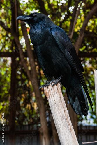 Fototapeta premium Big Black Raven sitting on a close-up branch