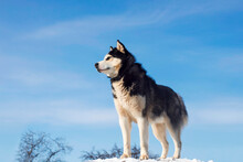 Black And White Siberian Husky Standing On A Hill In The Background Of Trees And Sky. Beautiful Siberian Husky Dog In Winter