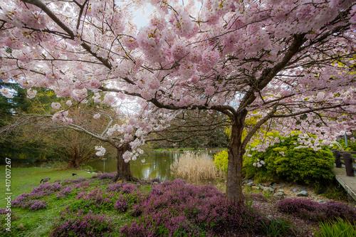 Fotografie, Obraz Cherry blossoms, trees, spring, beautiful, Richmond BC