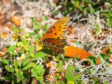 Gulf Fritillary Butterfly On A Flower