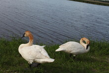 Family Of Swans WHITE, LAKE GREEN GRASS