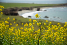 Close Up Of Yellow Wildflowers With Curve Of Turquoise Ocean Shoreline Out Of Focus In Background