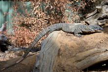 The Lace Monitor Lizard Is Climbing A Tree