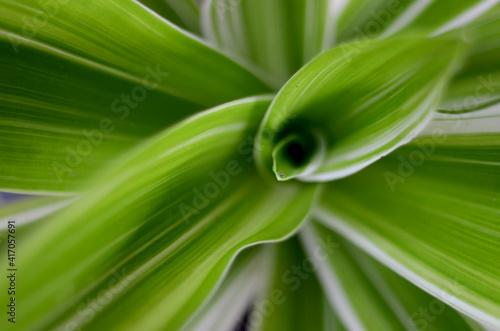 Slika na platnu leaf from Dracaena fragrans (cornstalk dracaena) that is native throughout tropical Africa, Sudan, Mozambique, and Angola