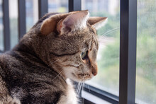 Portrait Of The Cute Tabby Sitting At The Window And Looking Outside, Profile Photo