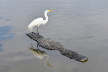 Snowy Egret And Alligator  In A Lake In Florida, United States