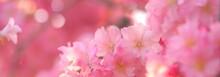 美しい枝垂れ桜、桜の花、日本の桜の花、クローズアップ